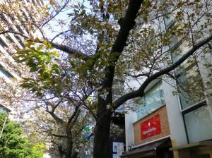 sakura-4